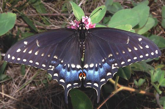 Pipevine çatal kuyruklu kelebek ile ilgili görsel sonucu