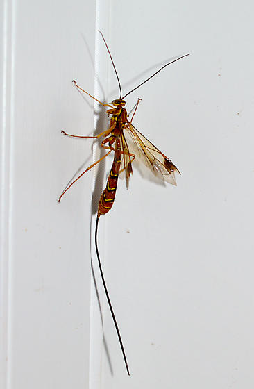 Ichneumon Wasp - Megarhyssa greenei - female