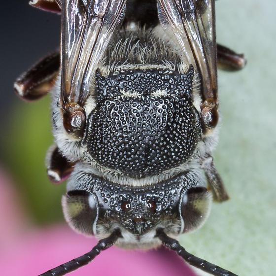 Cuckoo Leafcutter Bee - Coelioxys sayi - female