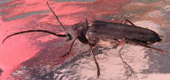 Bettle? - Arhopalus asperatus