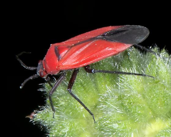 Unknown Bug - Lopidea