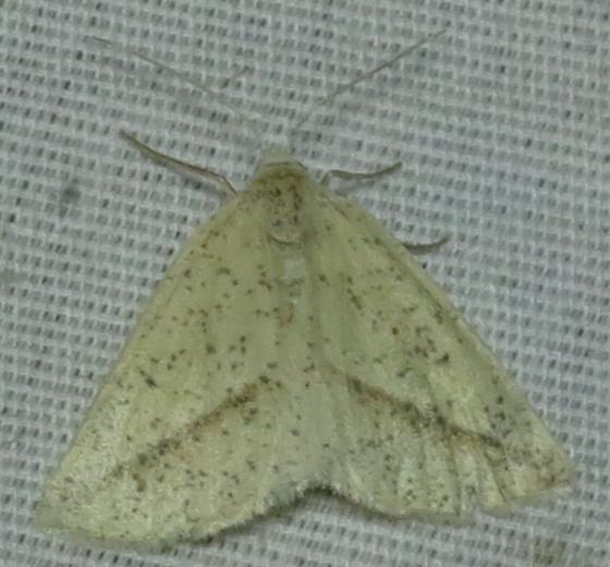 speckled cream/white moth - Lychnosea intermicata