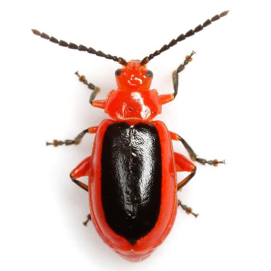 Disonycha discoidea (Fabricius) - Disonycha discoidea