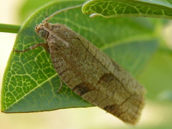Aphelia alleniana