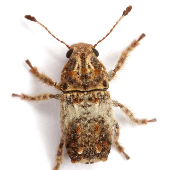 Toxonotus bipunctatus (Schaeffer) - Toxonotus bipunctatus