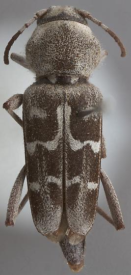 Xylotrechus albonotatus