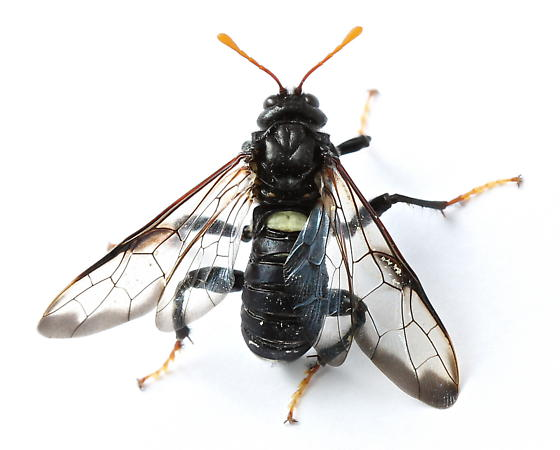 Cimbex americana - Cimbex americanus - male