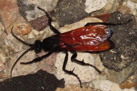Pepsis? - Hemipepsis ustulata - female