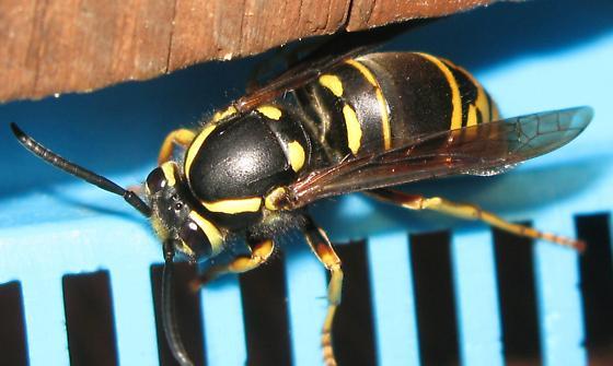 Vespula vidua spring queen - Vespula vidua - female