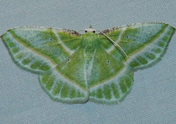 Showy Emerald - Dichorda iridaria
