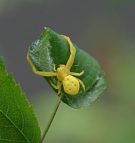 Yellow Spider- Crab? - Misumena vatia