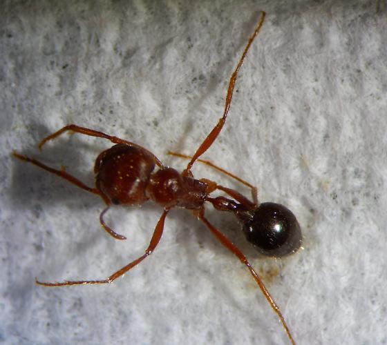 Formicidae - Pogonomyrmex