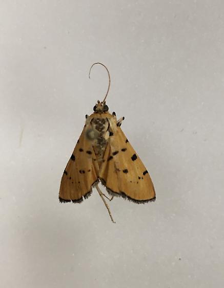 Lepidoteran - Phaedropsis stictigramma