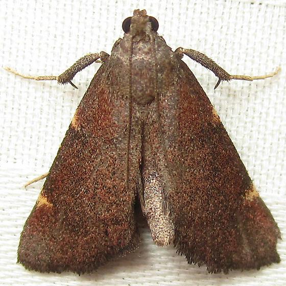 Red triangle - Hypsopygia new-species