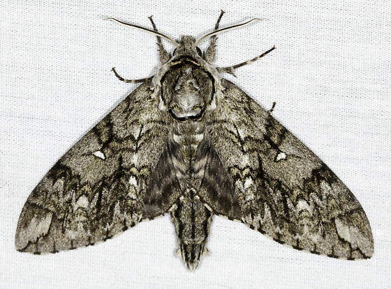 Sphinx - Ceratomia undulosa