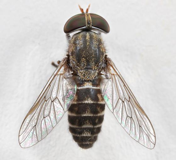 BG1736 E1838 - Tabanus sparus - female
