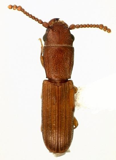 Leptophloeus angustulus (LeConte) - Leptophloeus angustulus - male