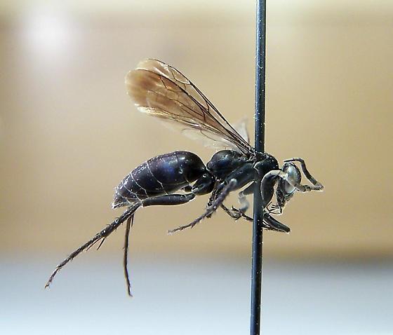 Evagetes parvus - female