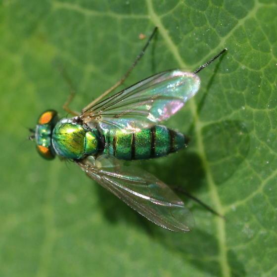 Leaf predator 2 - Condylostylus - female