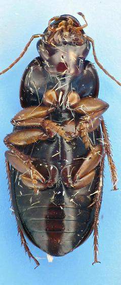 Carabid with striae punctures - Selenophorus opalinus