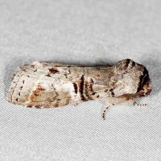 Moth - Ellida caniplaga