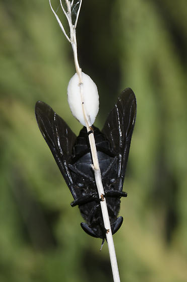 Ovipositing Black Horse Fly - Tabanus atratus - female