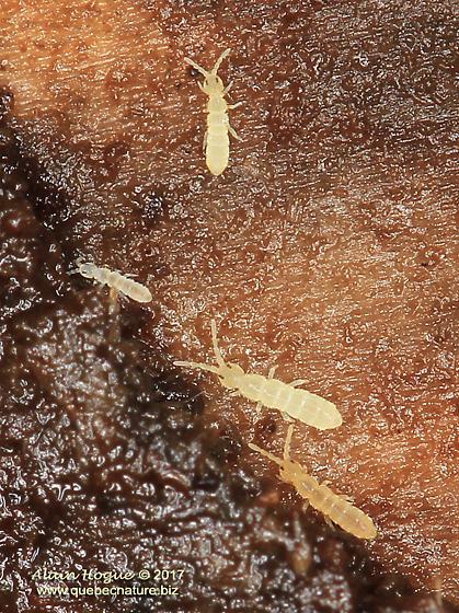 Vertagopus pseudocinereus ? - Vertagopus pseudocinereus