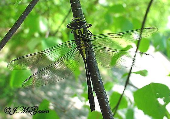 Dragon Fly 4 which species - Hylogomphus adelphus