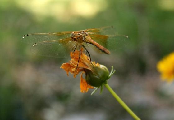 Washington meadowhawk - Sympetrum semicinctum