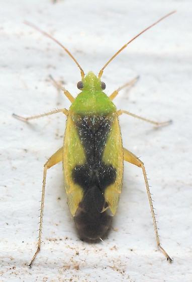Ornate Plant Bug? - Reuteroscopus ornatus