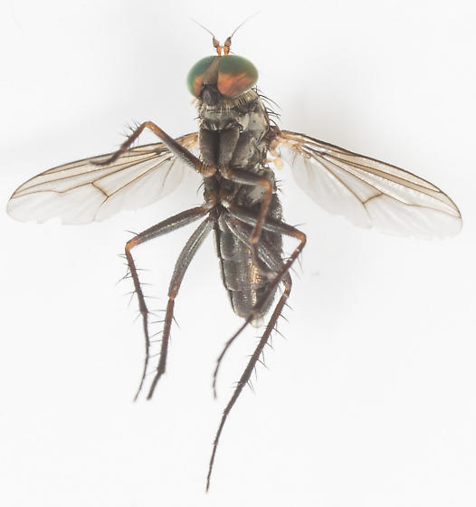 Fly - Tachytrechus - female