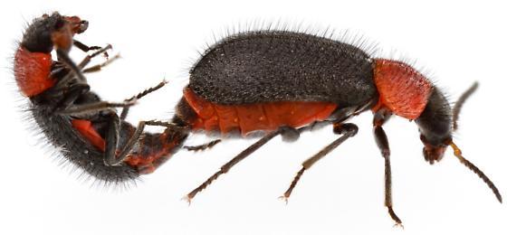 Mating pair, Malachiini - Collops nigritus - male - female