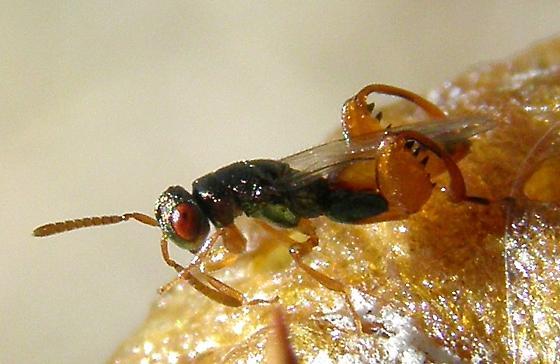 parasitic wasp on Mantis ootheka - Podagrion - male