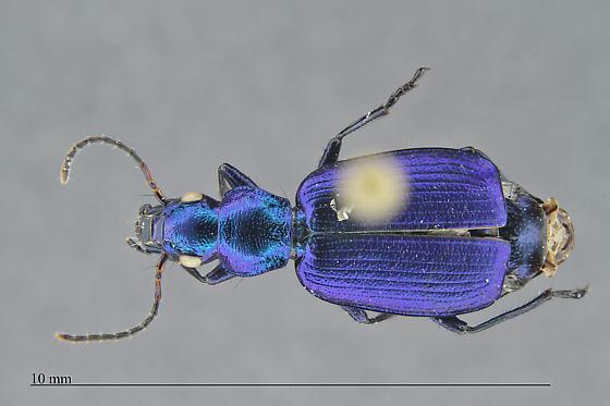 Carabidae - Philophuga caerulea