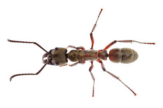 Hairy Panther Ant - Neoponera villosa - female