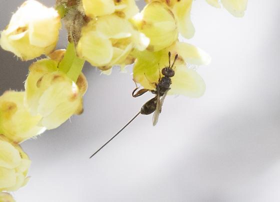 Wasp? - Podagrion