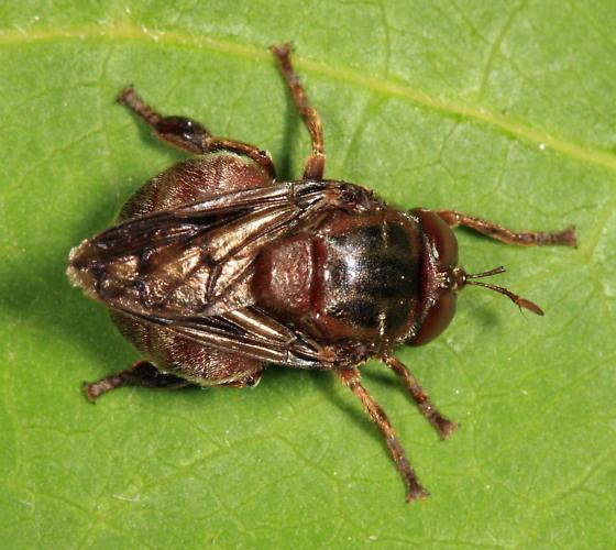 syrphid - Microdon abditus