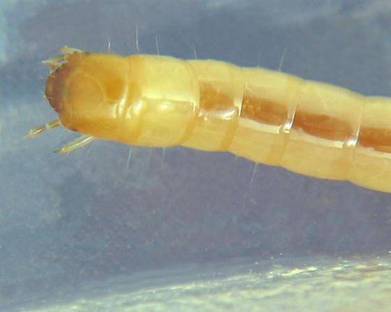 J larvae - Mycetochara binotata