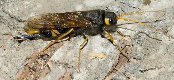 Oregon Horntail - Urocerus flavicornis - female