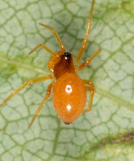 Tiny Orange Spider for ID