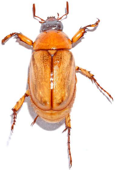 82 - Cyclocephala lurida
