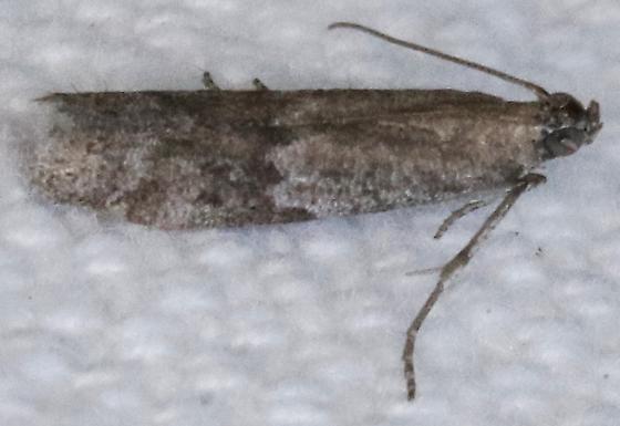 Eurythmia angulella - Hodges#6032 - Eurythmia angulella