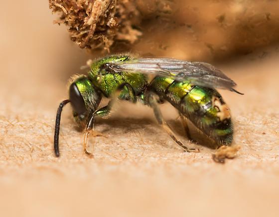 Sweat Bee - male