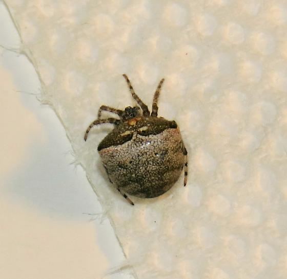 Araneus corticarius?  - Araneus corticarius - female