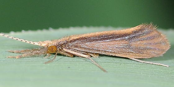 Caddisfly with long antennae