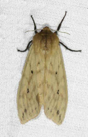 Isabella - Pyrrharctia isabella