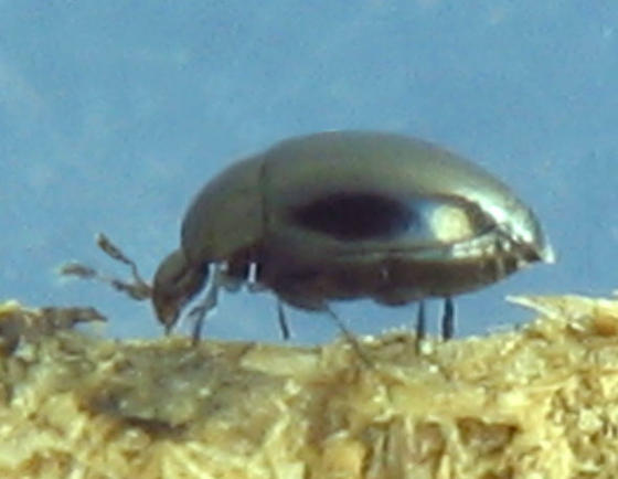 Black Minute Hooded Beetle - Orthoperus scutellaris