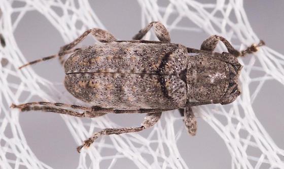 Gray Beetle - Ecyrus dasycerus