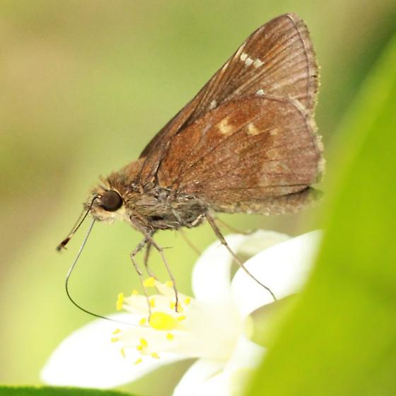 Clouded Skipper - Hodges#3998 - Lateral - Lerema accius