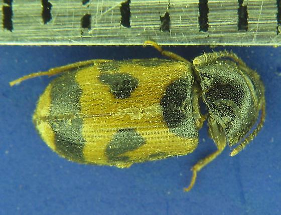 mystery beetle - Mycetophagus punctatus
